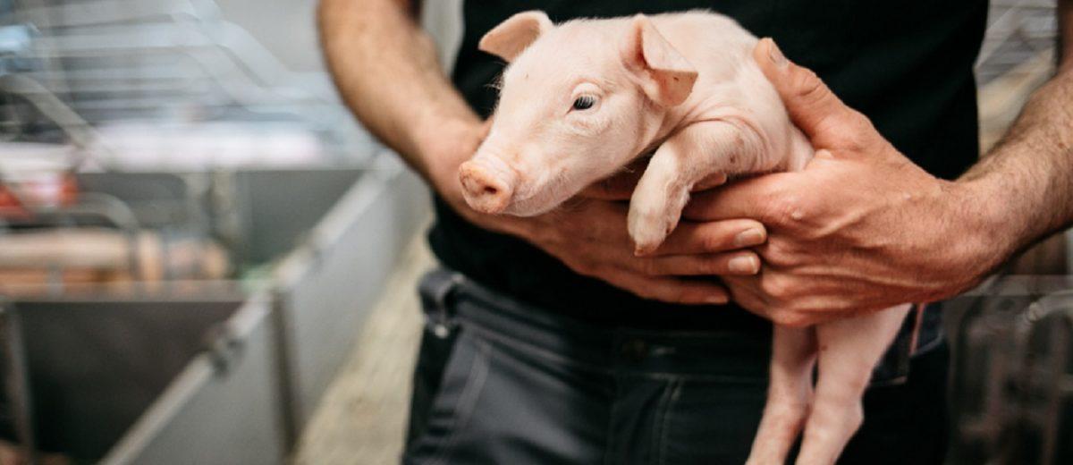 EUREDEN | Activités - Agriculture - L'élevage de porcs