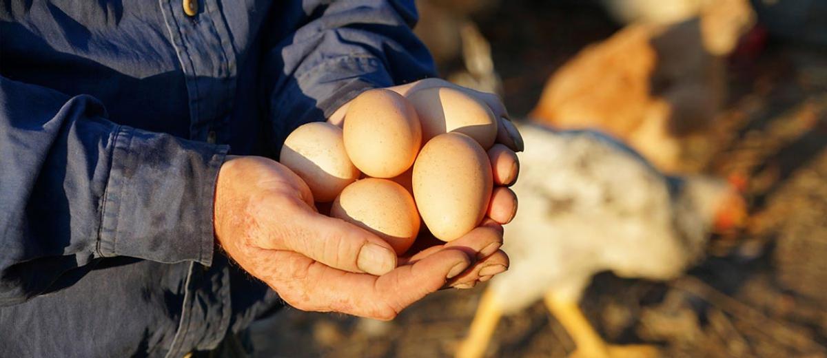 EUREDEN | Activités - Agriculture - Production d'oeufs